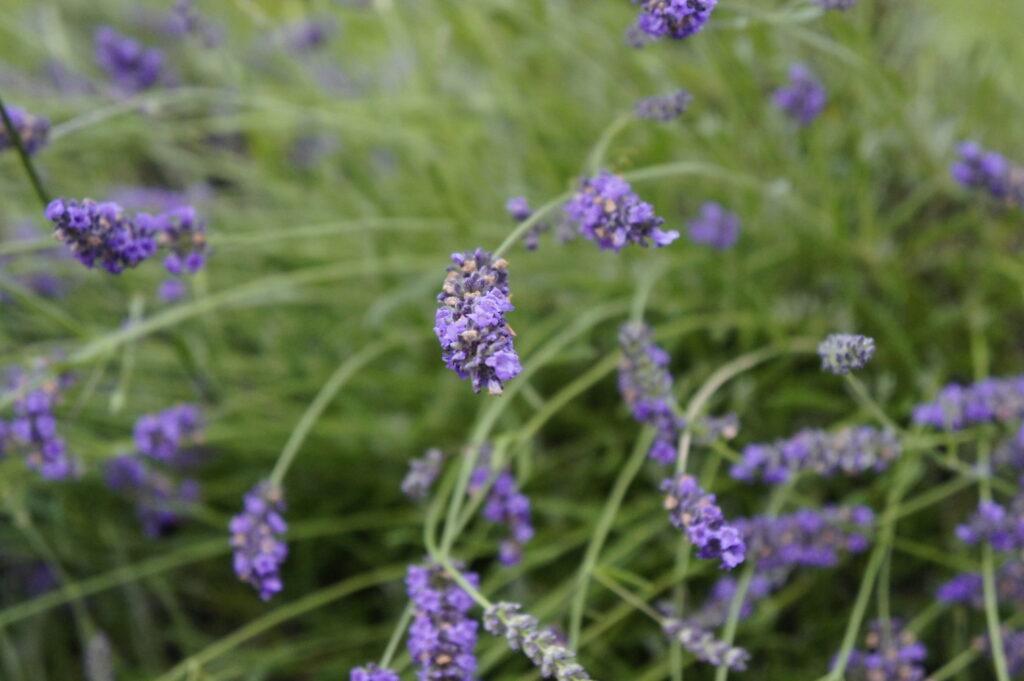 Lavendel in Italien